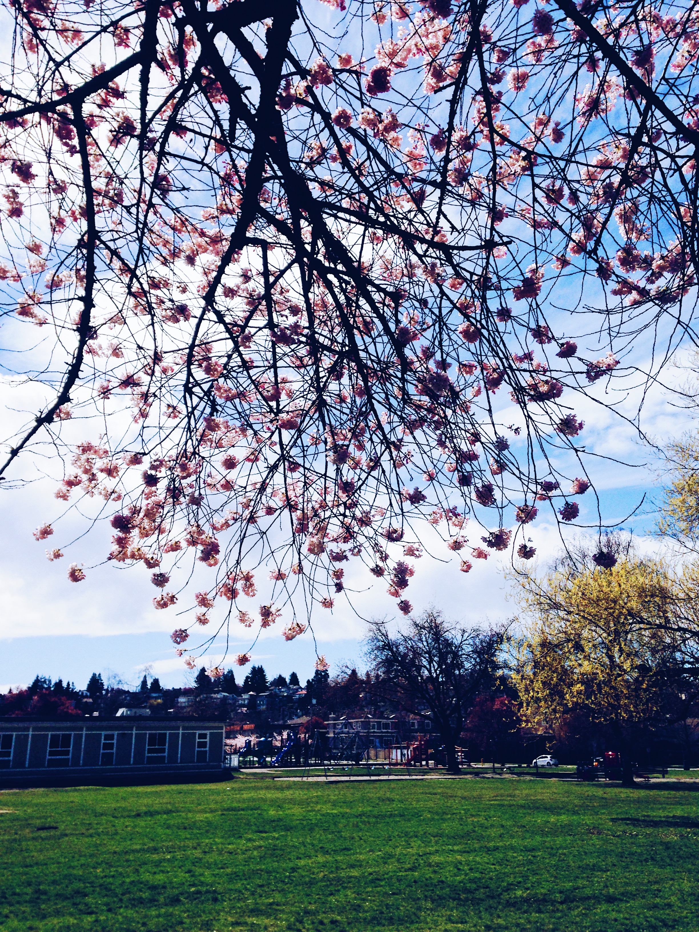 It's Cherry Blossom Season In Vancouver Again