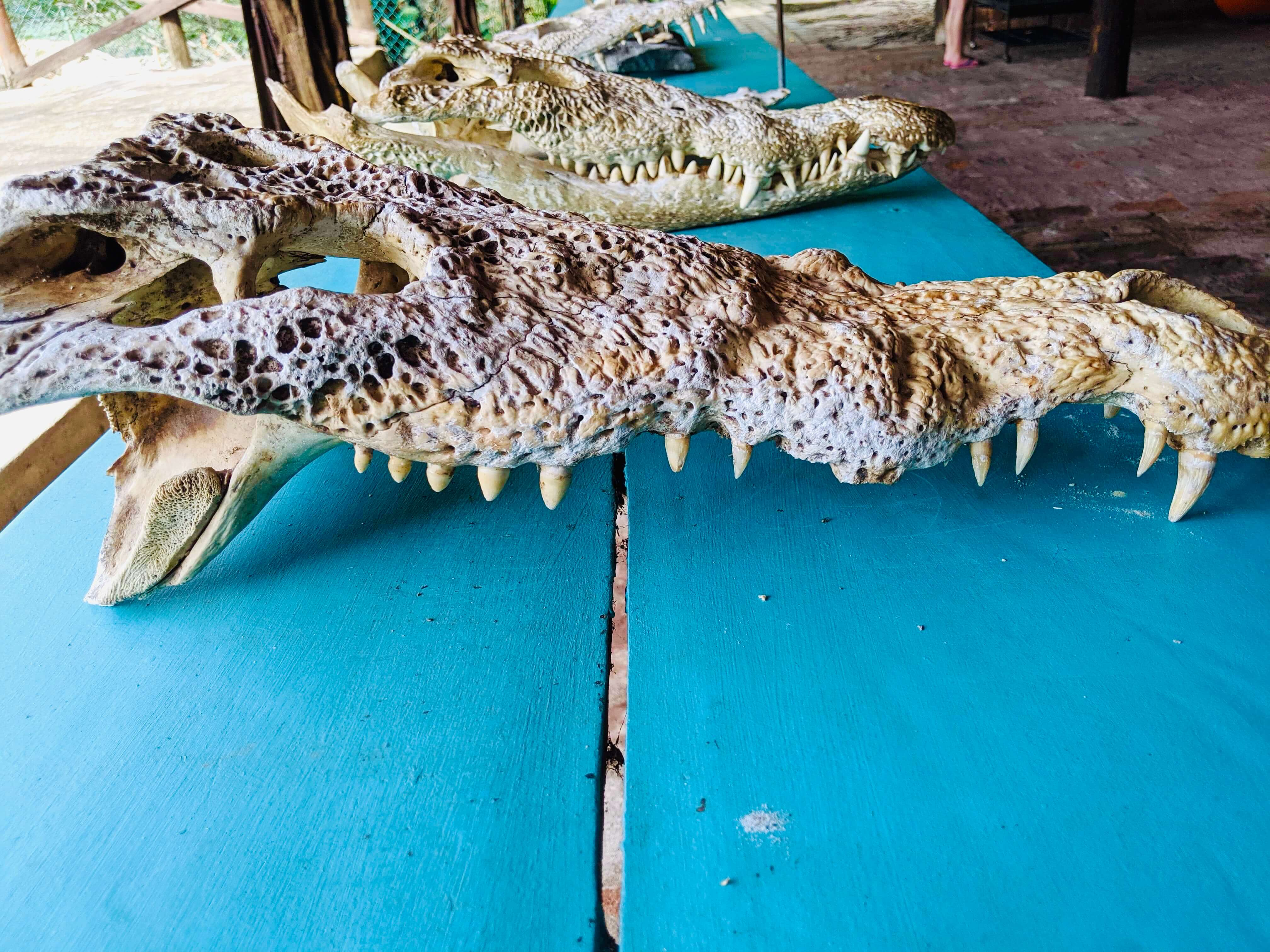 The skulls of three crocodiles that were killed here from a wild crocodile that snuck in
