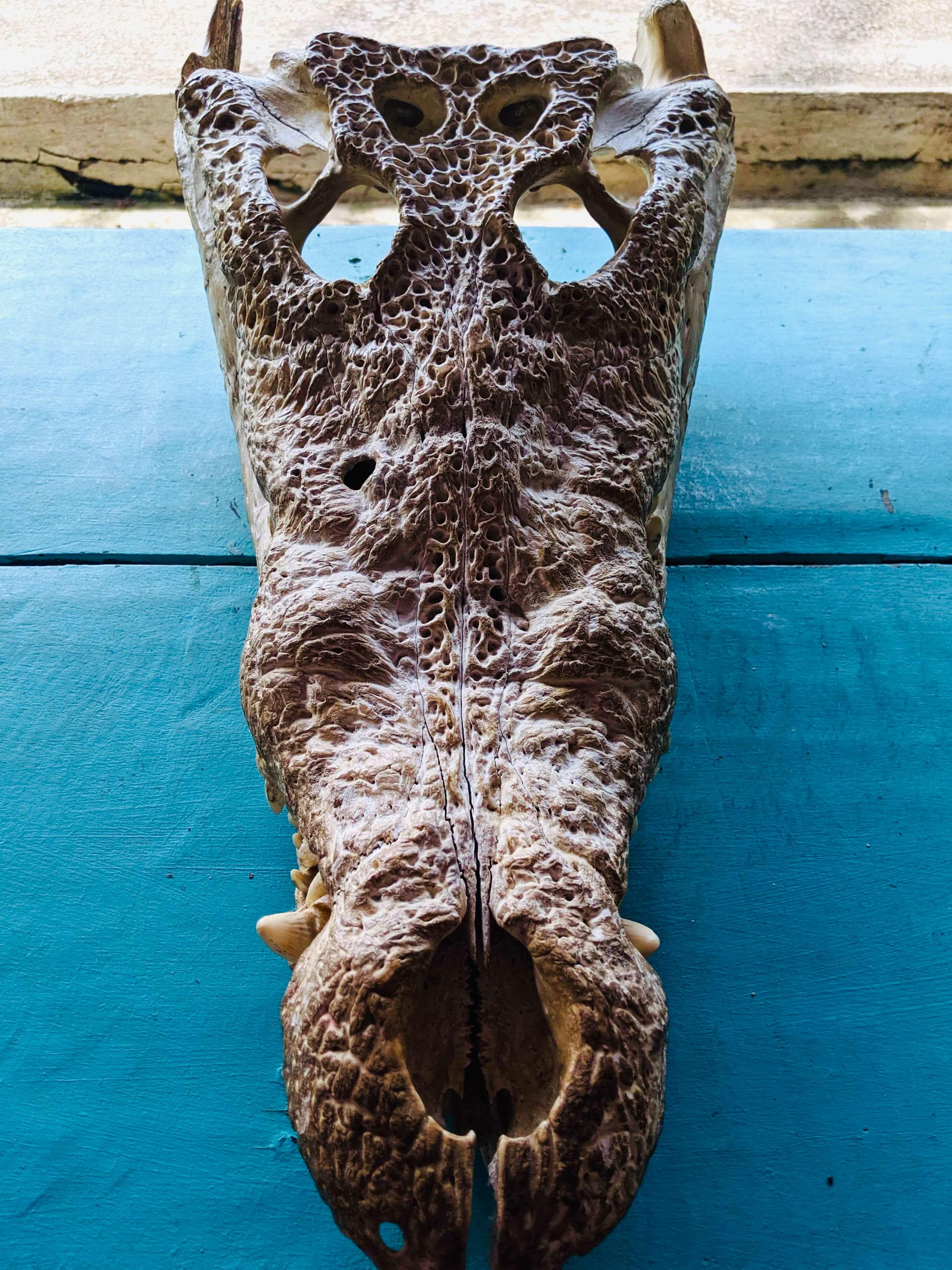 Crocodile skull on a table