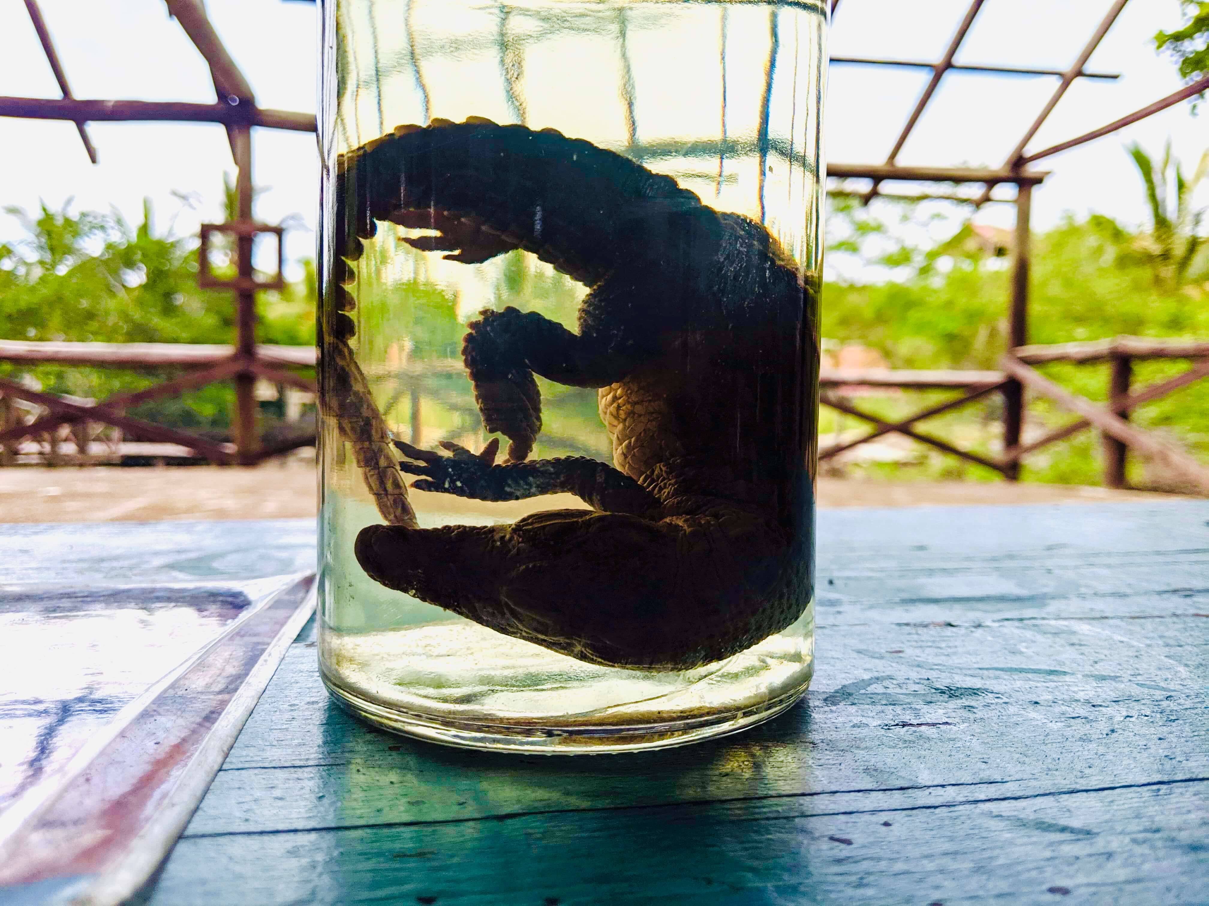 A deceased baby crocodile in a jar on a table