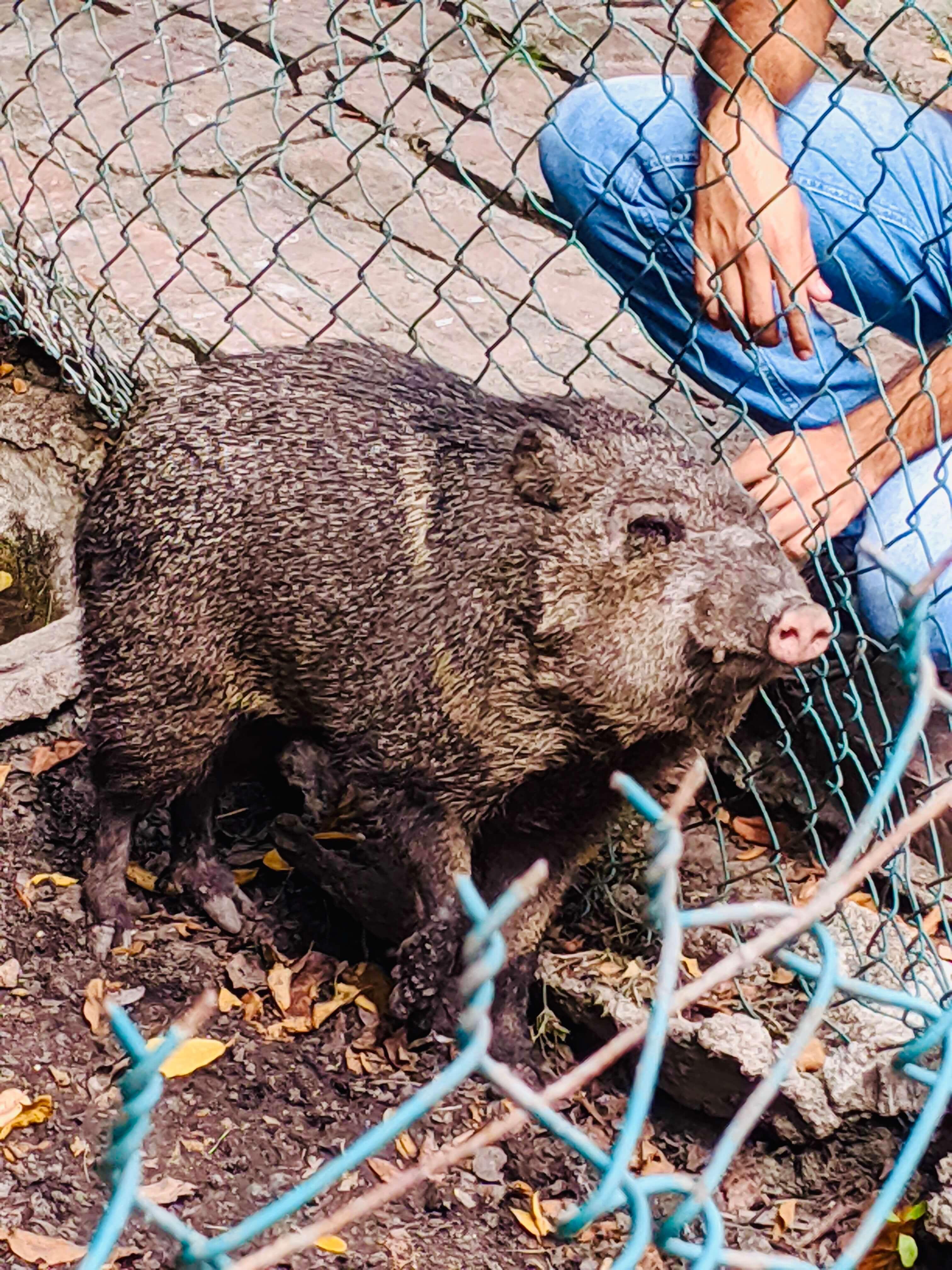 A small hog, enjoying getting pet