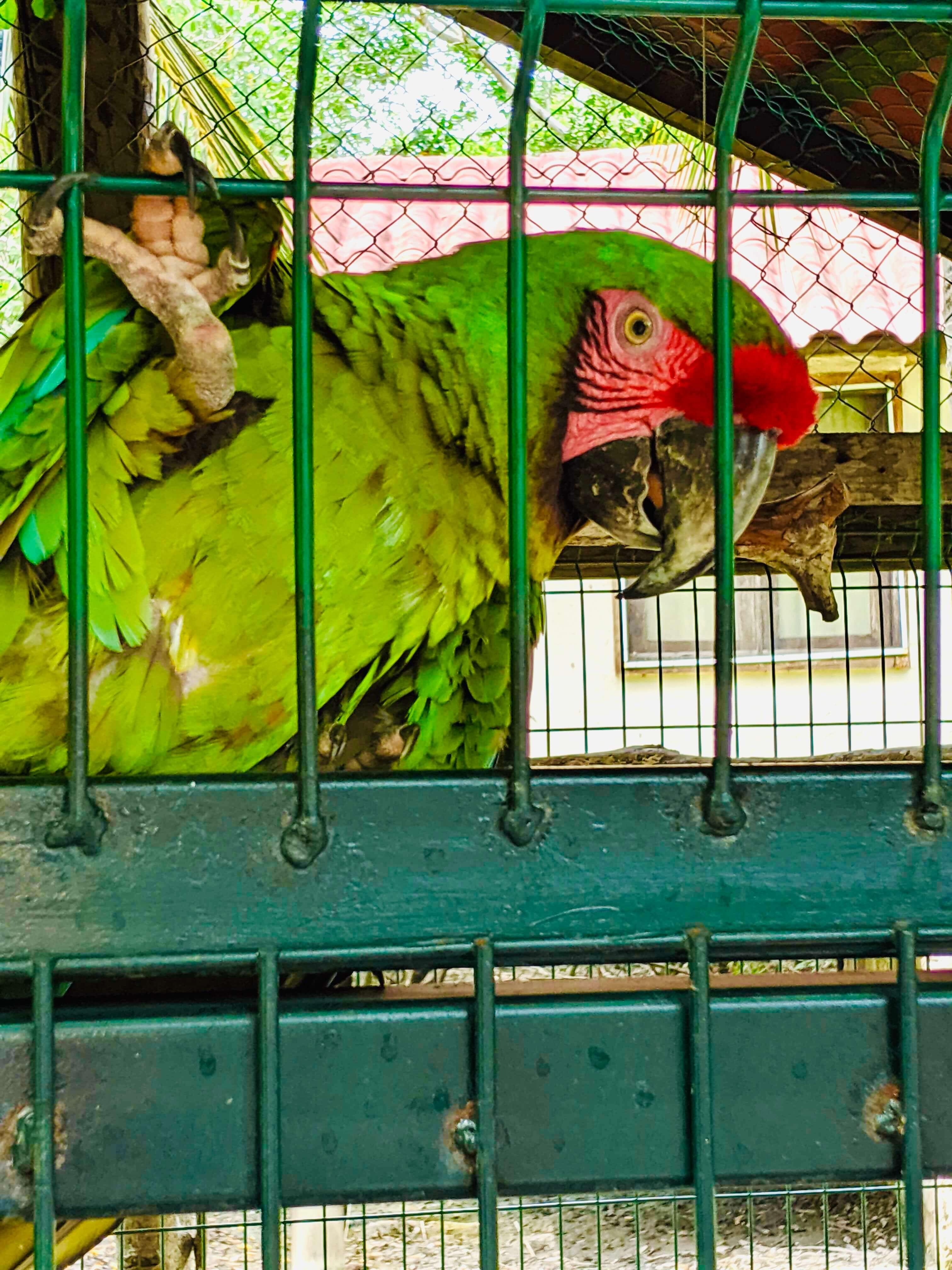 A green Macaw bird