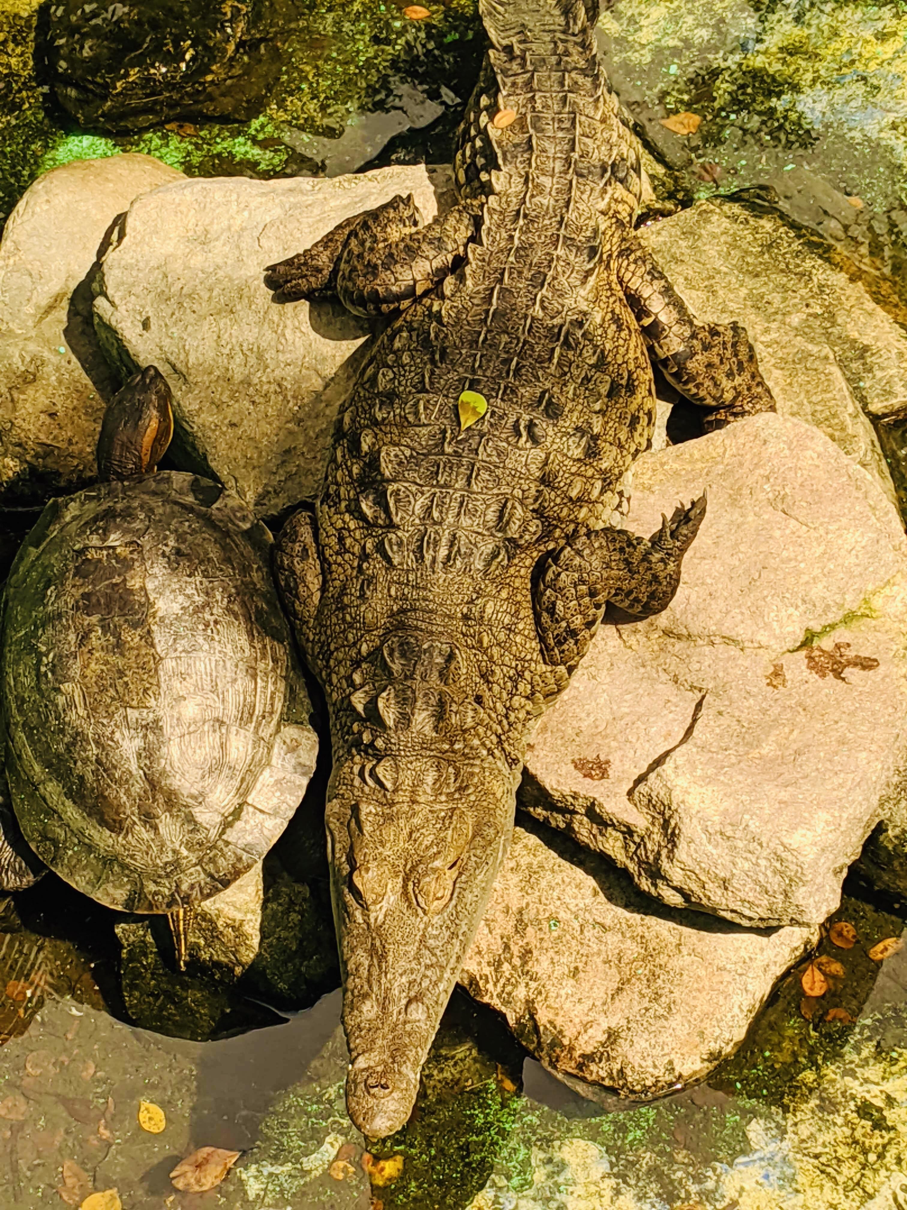 A crocodile on a rock with a turtle beside it