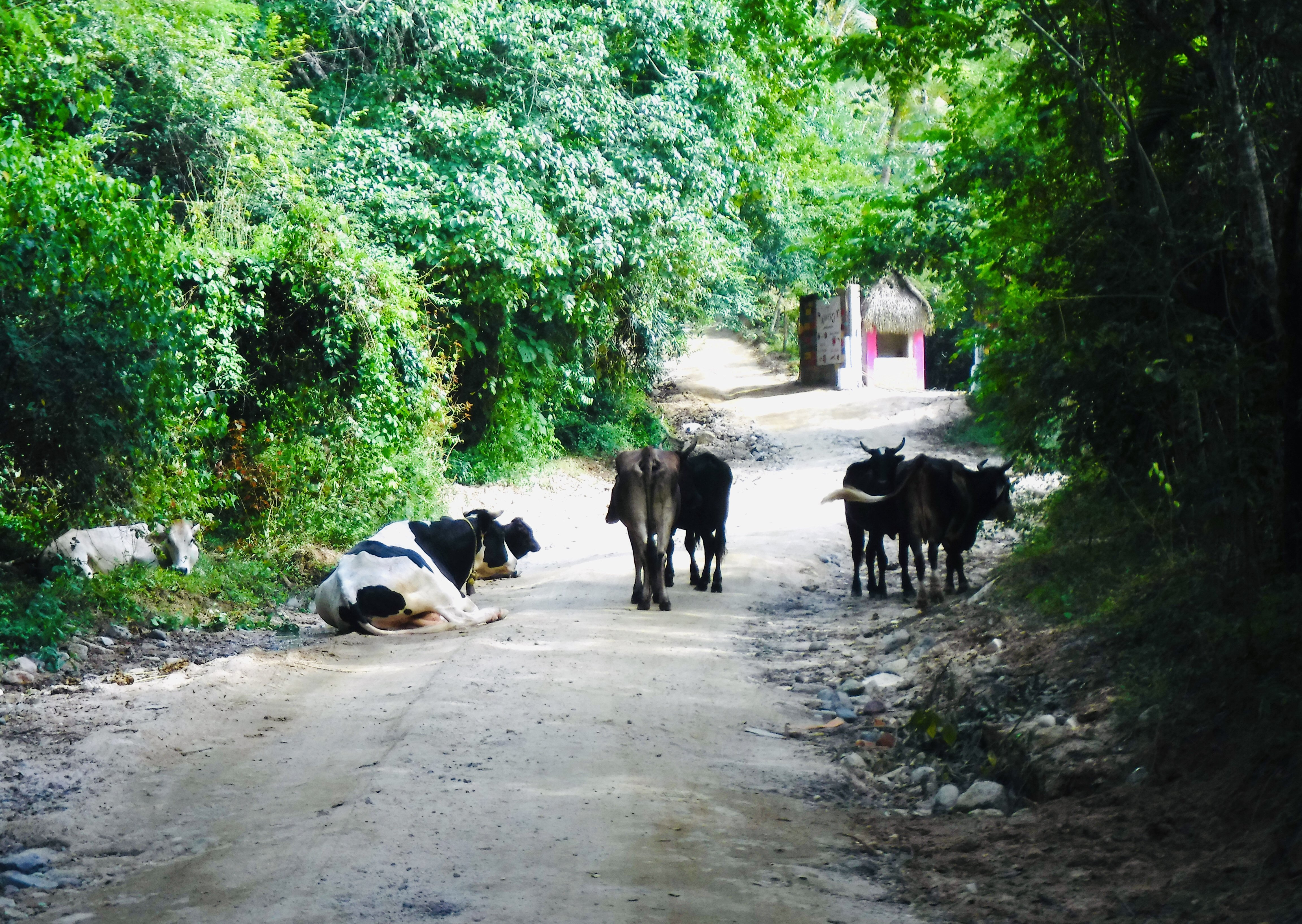 Cows blocking the dirt road we were driving up to get to the Predator movie set. 6 Puerto Vallarta Fun Facts