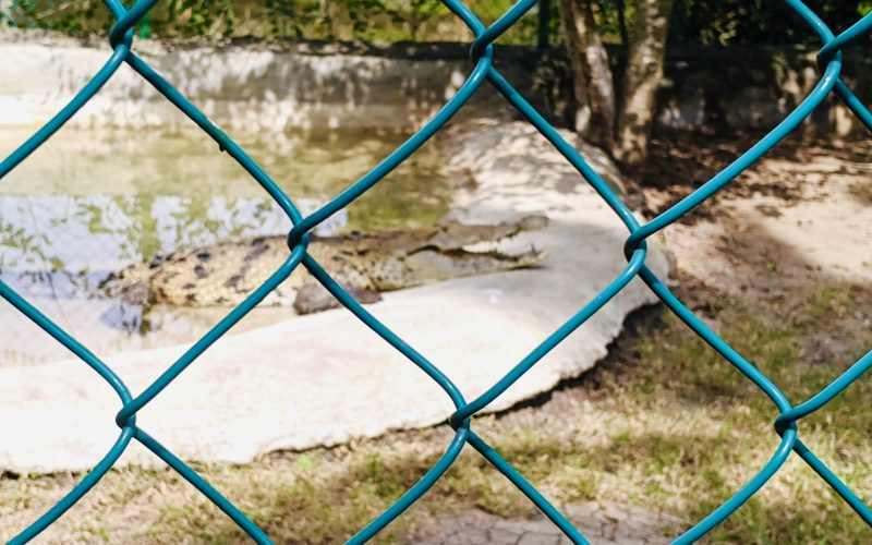 Crocodile in the water, seen through a fence